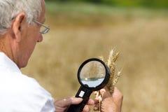 Agrónomo que analiza los oídos del trigo imagen de archivo