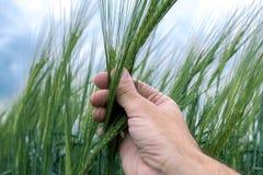 Agrónomo que examina el desarrollo de la planta cultivada de la cebada en campo fotos de archivo
