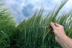 Agrónomo que examina el desarrollo de la planta cultivada de la cebada en campo foto de archivo libre de regalías