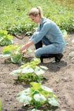 Agrônomo bonito da mulher que trabalha no campo, pum crescente do eco das verificações fotografia de stock