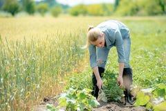 Agrônomo da mulher que trabalha no campo, batatas crescentes do eco das verificações fotos de stock