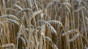 Agrônomo com os handglass que olham as orelhas do trigo filme