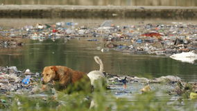Ecological Concept Agra India Pollution 4k. AGRA, INDIA - MARCH, 2017: stray dogs and environmental pollution at Jumna river in Agra, India on March, 2017 stock footage