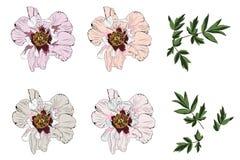 Agrafe Art Set de vecteur de pivoine de 6 fleurs et feuilles Illustration Libre de Droits