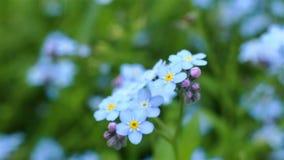 Agrafe de plan rapproché de myosotis Belles fleurs clips vidéos