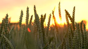 agrafe 4K du champ de blé ou d'orge soufflant dans le vent au coucher du soleil ou au lever de soleil banque de vidéos