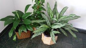 Agraonema листвы Стоковое фото RF