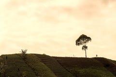 Agrapura葱种植园,印度尼西亚 库存照片