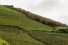 Agrapura葱种植园,印度尼西亚 免版税库存照片