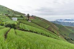 Agrapura葱种植园,印度尼西亚 库存图片