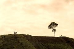 Agrapura onion plantations, Indonesia. Agrapura onion plantations beautiful scene in day light, Indonesia Stock Photo