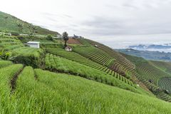 Agrapura-Zwiebelplantagen, Indonesien Stockbild