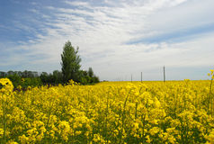 Agrarian blooming yellow field on a background of clouds Royalty Free Stock Photo