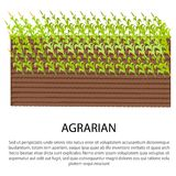 Agrarian Poster with Growing Corn Plants Royalty Free Stock Photography