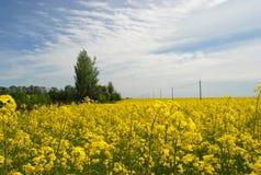 Agrariskt blommande gult fält på en bakgrund av moln Royaltyfri Foto