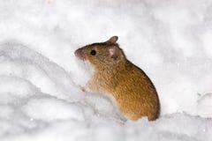 Agrarius del Apodemus, mouse di campo a strisce Fotografia Stock