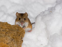 Agrarius del Apodemus, mouse di campo a strisce Fotografie Stock