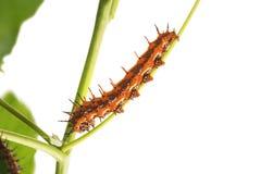 Agraulis för Fritillary för Caterpillar fjärilsgolf vanillae på t arkivfoton