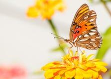 agraulis jaskrawy motyla barwioni vanillae Zdjęcia Stock