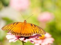 agraulis motyli fritillary zatoki vanillae Obraz Royalty Free
