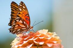 agraulis motyli fritillary zatoki vanillae Zdjęcia Stock