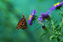 Agraulis Vanillae Butterfly Royalty Free Stock Photos