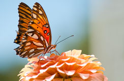 Agraulis Vanillae, Gulf Fritillary butterfly Stock Photos
