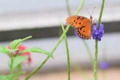Agraulis vanillae motyli Zdjęcie Stock