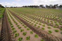 Agrculture e explorações agrícolas - legumes com folhas Imagens de Stock