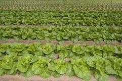 Agrculture e explorações agrícolas - legumes com folhas Fotografia de Stock Royalty Free