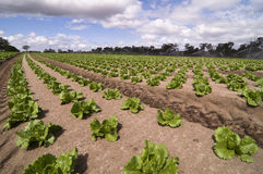 Agrculture and farms - leafy vegetables. Rows of vegetable crops growing on a farm with sprinklers in the background Stock Images