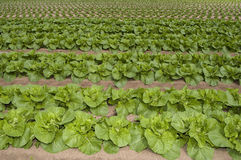 Agrculture and farms - leafy vegetables. Leafy green vegetable crops planted in orderly rows Royalty Free Stock Photography