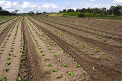 Agrculture and farms - Seedlings. Rows of seedlings growing on a farm Royalty Free Stock Image