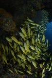 Agregacja kolor żółty ryba w Błękitnym Nawadnia Maldives Zdjęcia Royalty Free