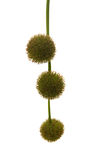 Agregate balls of the seeds of a plane tree Royalty Free Stock Photography