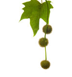 Agregate balls of the seeds of a plane tree Royalty Free Stock Images