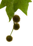 Agregate balls of the seeds of a plane tree Stock Images