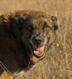 Agressieve hond royalty-vrije stock foto's
