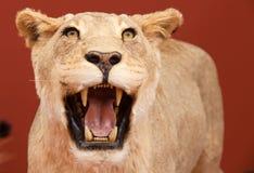 Agressieve uitdrukking van gevulde leeuw stock afbeelding
