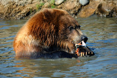 Agressive Appetite. Grizzly sits shoulder deep in water.  He is gripping a salmon with his paws and tearing it with his teeth Royalty Free Stock Photos