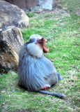 Agressive Baboon. Large Baboon sits on the grass of its enclosure. His mouth is wide open and it is displaying fangs and teeth in a show of agression royalty free stock photo