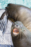 Agressive brown sea lion in the Galapagos Islands, Ecuador Stock Images