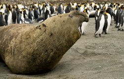 Agressive Bull Elephant Seal Royalty Free Stock Photography