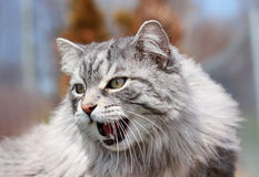 Agressive cat. In nature during spring Royalty Free Stock Photography