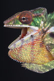 Agressive Chameleon / Furcifer pardalis Stock Photo