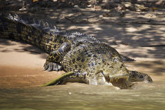 Agressive crocodile Stock Images