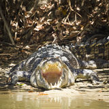 Agressive crocodile. Large saltwater crocodile showing his jaws in an aggressive behavior in Kakadu National Park, Australia Royalty Free Stock Photography