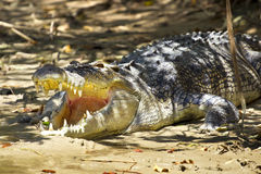 Agressive crocodile Stock Photos