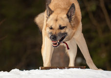 Agressive dog Stock Photos