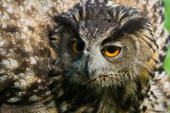 Agressive eagle owl. With all its feathers set up Stock Photos